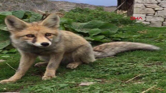 Kızıl tilki yaylacıların maskotu oldu