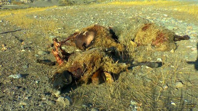 Uyandığında hayatının şokunu yaşadı: 30 koyunu parçalamışlar