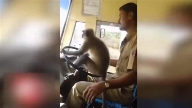Şoför koltuğuna oturan maymun işinden etti