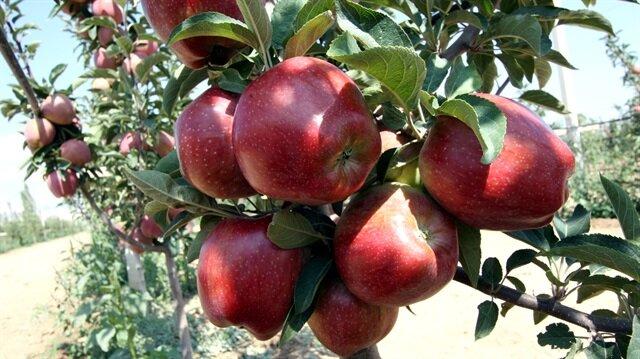 Niğde'de elma hasadı başladı: Üreticinin yüzü güldü