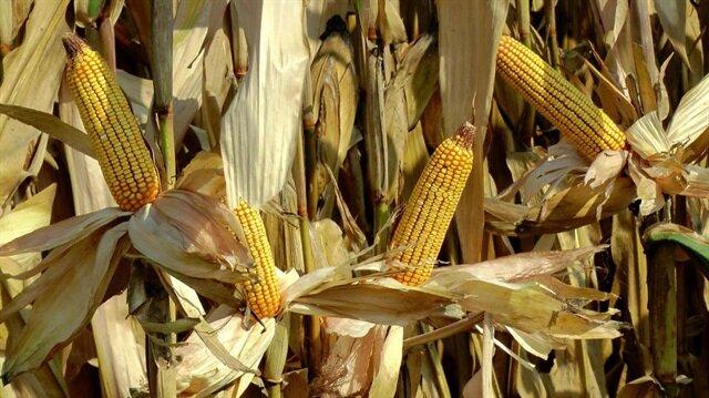 Bakan Pakdemirli'den mısır üreticisine müjdeli haber