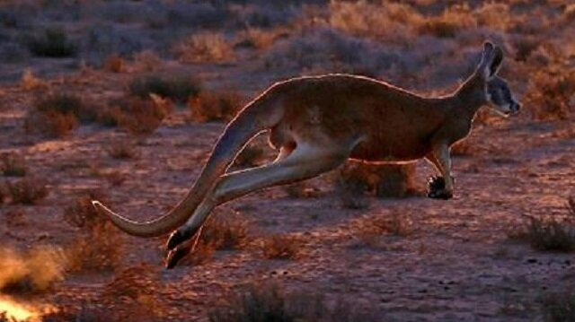 Vahşi kanguru Avustralyalı çifti hastanelik etti