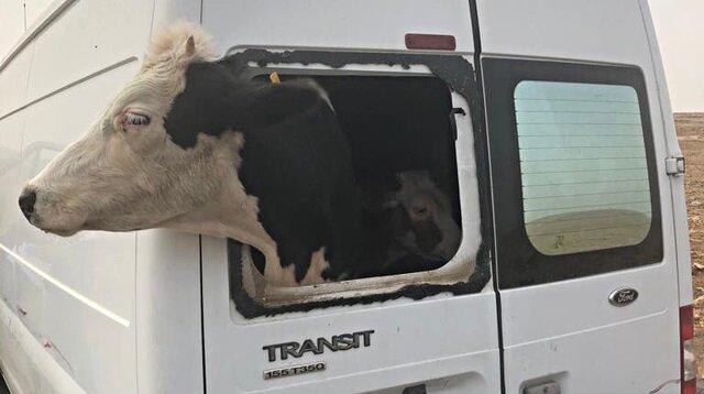 Çaldıkları minibüsle hayvan çaldılar!