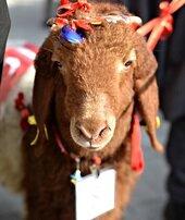 Keçileri güzellikte yarıştırdılar