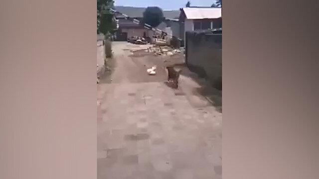 Korkudan uçan tavuk