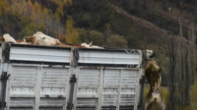 Çoban köpeği kamyon kasasında asılı kaldı