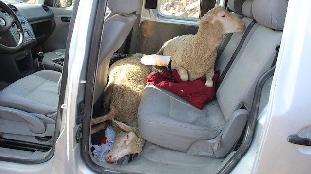 5 koyunu sünnet düğününde yemek için çalmışlar!