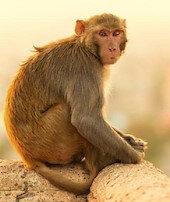 Bir bebek daha maymun kurbanı oldu
