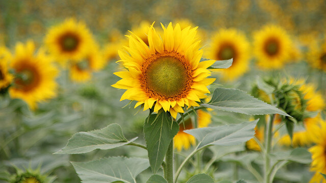 Tax concerns on sunflower and oil
