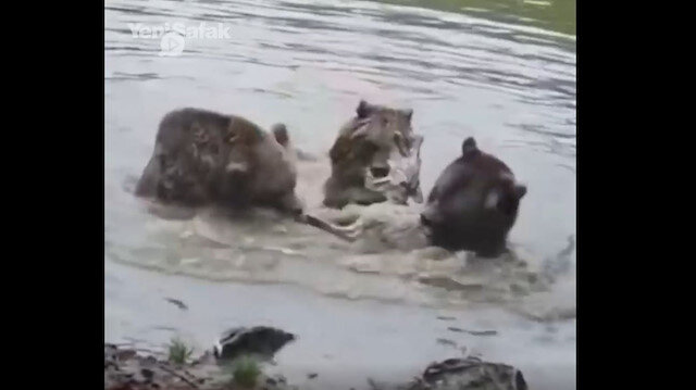 Dört ayı bir kurdu yedi