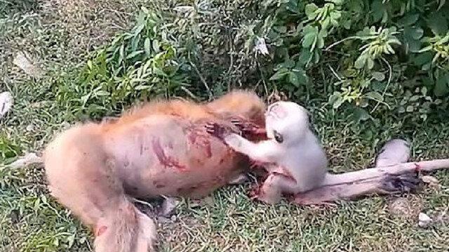 Yavru maymun ölen annesinin başında ağladı