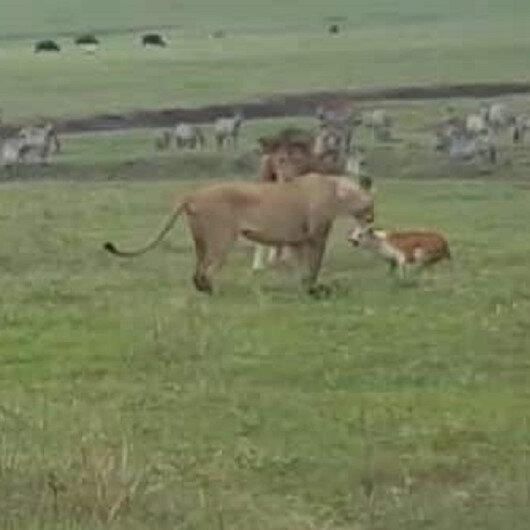 شاهد: كلب شجاع يهاجم أسد ولبؤة.. وردة فعل صادمة من ملك الغابة