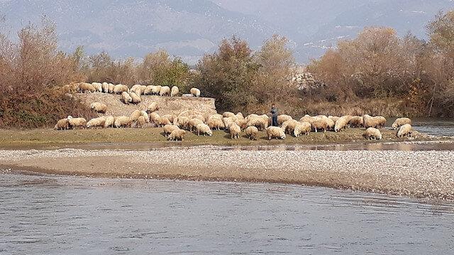 Kelkit Çayı'ndaki adacıkta mahsur kalan çoban ile koyunları itfaiye ekibi kurtardı.