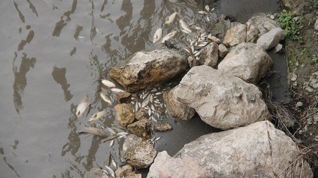 Yeşilırmak'ta yine balık ölümleri yaşandı.