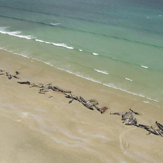 50 balina kıyıya vurdu