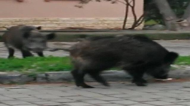 Domuzlar ünlü tatil merkezinde sokağa indi
