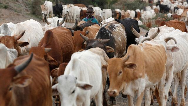A Kenyan boy walks with his cattle near the town of Nanuki in Laikipia County, Kenya, July 25, 2017.