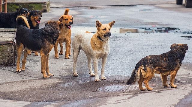 Büyük tartışma: Sokak köpekleri