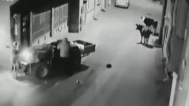 'İnekten kurtulayım' derken duvara çarptı: İnekler sürücüye bakakaldı