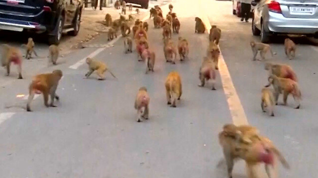 5 bin maymun şehre indi: Her şeyi çalıyorlar
