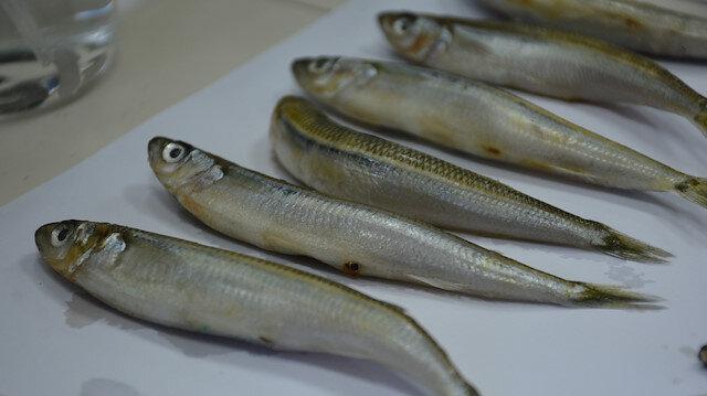 Merkez Haberleri: Karadenizdeki 2 balık türünde hastalık yapan parazit tespit edildi 59