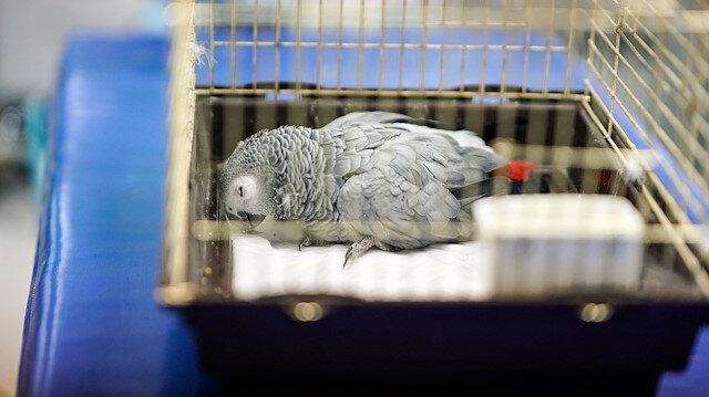 İşkence edilen papağan tedavi altına alındı
