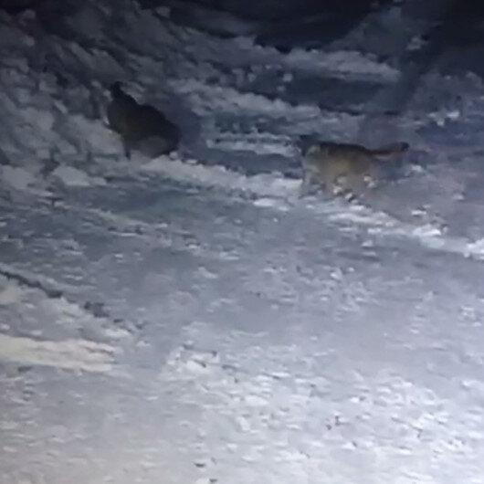 Aç kurtlar köye indi köpekleri parçaladı