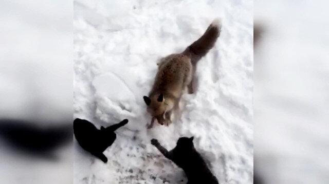 Köye inen tilkinin kedilerle ekmek kapma mücadelesi kamerada