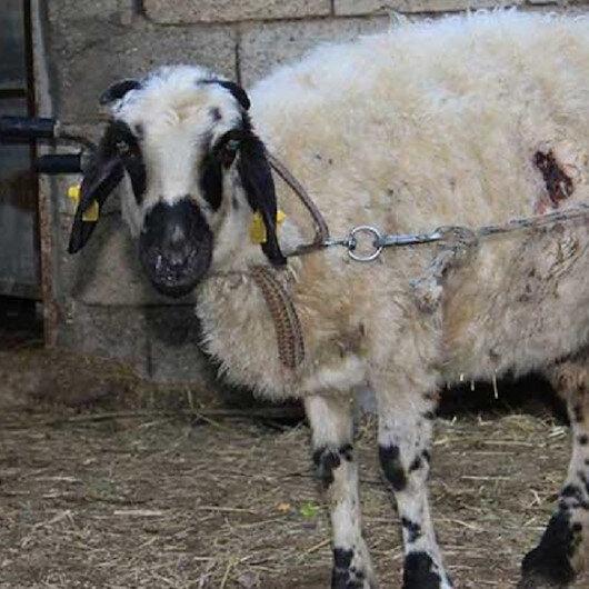 Gizemli koyun katliamı: Önümüze çıkacak diye korkuyoruz