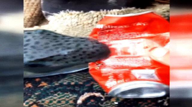 Teneke kutu yiyen balon balığı balıkçıları şoke etti