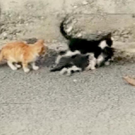 Aracın çarptığı kediyi ağzıyla yol kenarına taşıdı