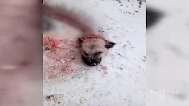 Dağdan inen aç kurtlar kangal köpeğini yedi