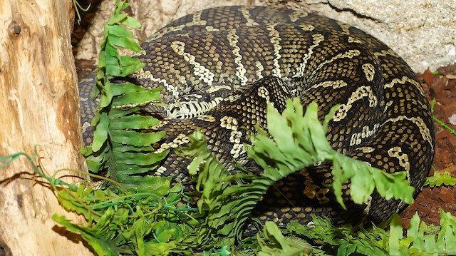 500'den fazla kene piton yılanına yapıştı