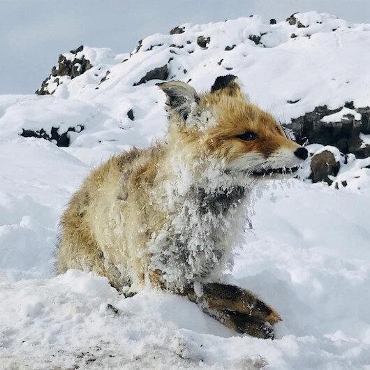 Çaldıran'daki Sibirya soğukları tilkiyi dondurdu
