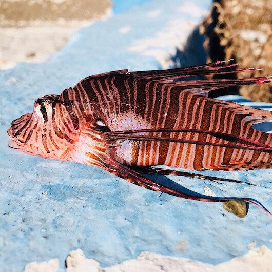 Ege Denizi'nde istilacı tür olan aslan balığı avlandı