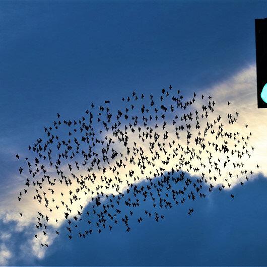 Sığırcık kuşlarının dansı büyüledi