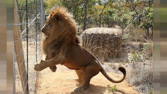 Sirk aslanının kafesinden kurtulduğu anlar