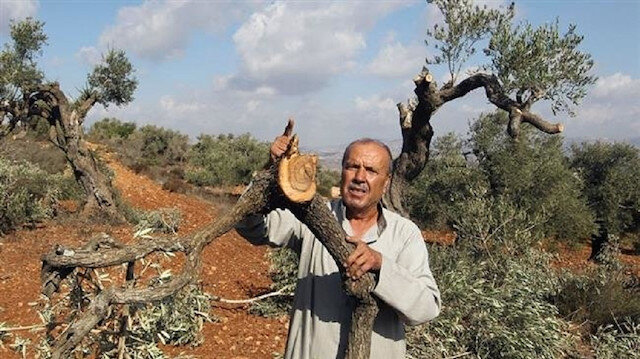 Settlers chop down Palestinian olive trees in West Bank