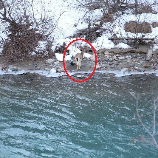 İki metreyi aşan kar dağ keçilerini de etkiledi