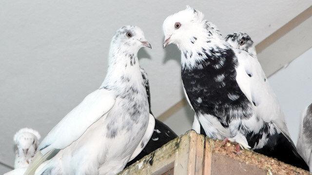50 bin liralık güvercin sevgisi