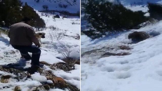 Anne ayıyı rahatsız eden çoban canından oluyordu