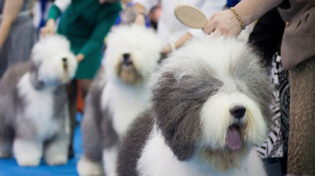 Thousands of dogs vie for Best in Show at New York's