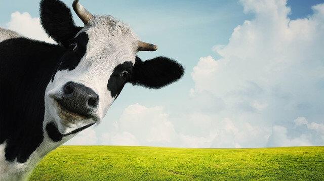 Uygulamayı kullanan çiftçiler, yetiştirdikleri inek ve boğaları için gelecekte çiftleşmeleri muhtemel olan adayları buluyor.