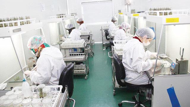 Doku Kültürü Laboratuvarı'nda hastalıklardan ari temiz ve genç patates tohumları üretiliyor.
