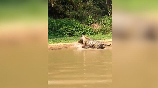 Jaguar timsahı suyun içinde avladı
