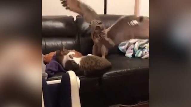 Kediyle baykuşun koltuk kavgası