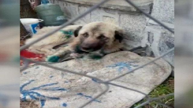 Yerde sürüklenen köpek artık sıcak yuvasında