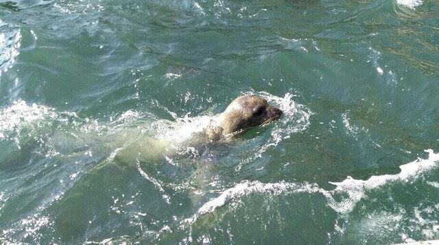 Kuşadası'nda 15 ay aradan sonra ilk kez Akdeniz foku görüldü.