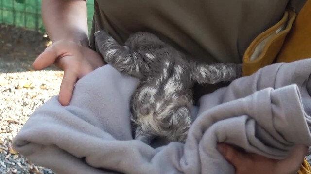 Yavru tembel hayvanın annesiyle buluşmasını Türk gezgin görüntüledi