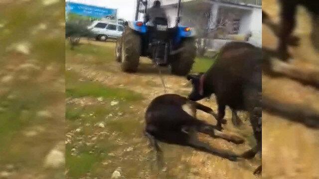 Ölen yavrusunu sürükleyen traktörün peşini bırakmadı